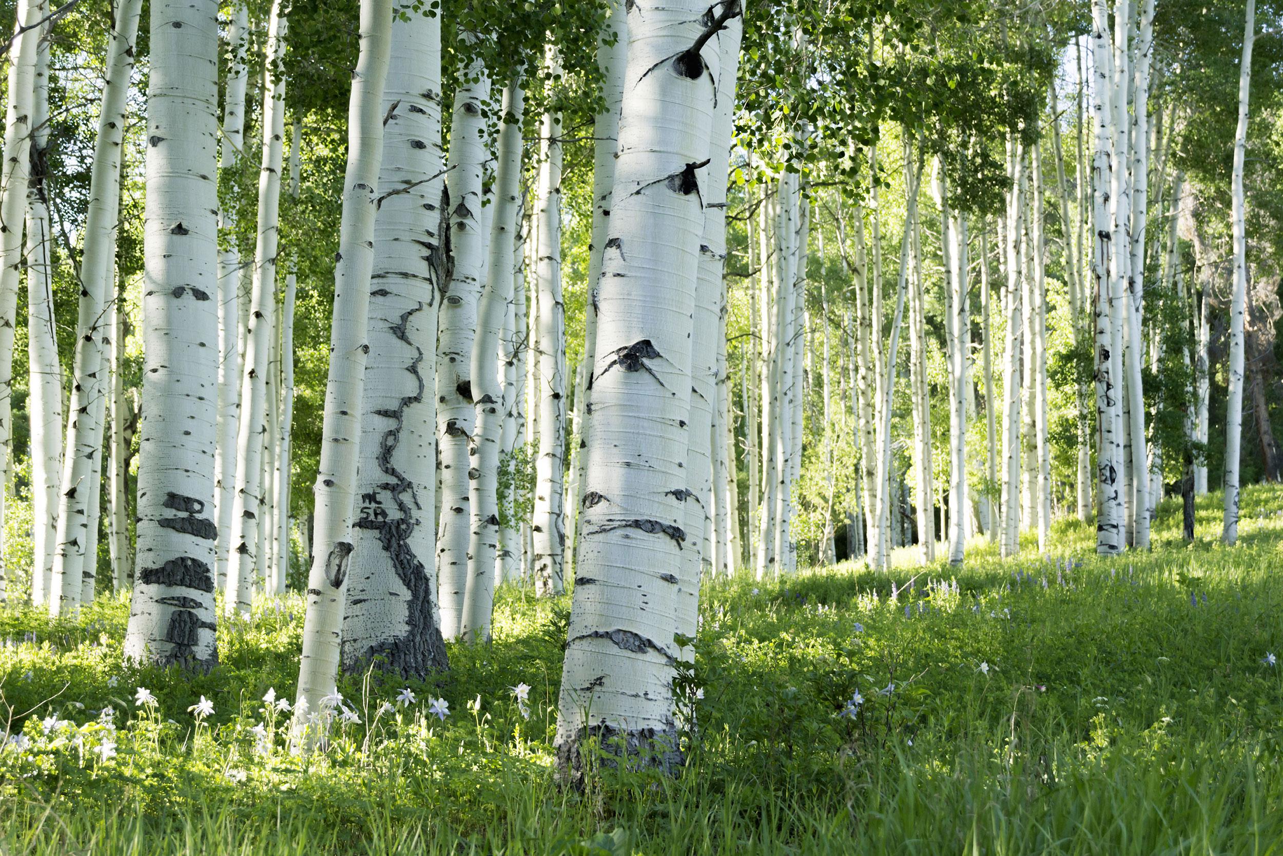 header_aspen-trees
